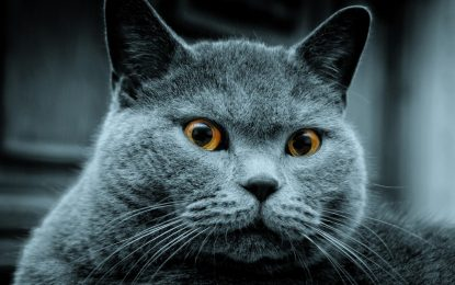 THE RUSSIAN BLUE CAT