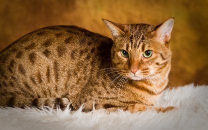 The Ocicat Cat