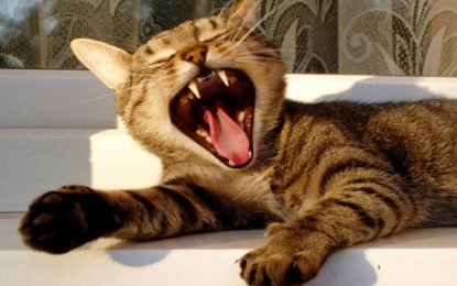 Cleaning Cat Teeth : A Guide to Dental Care for Cats